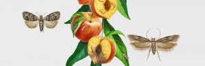 Ilustracion PLAGAS DE LA AGRICULTURA - ADAMA, Illustration PESTS OF AGRICULTURE